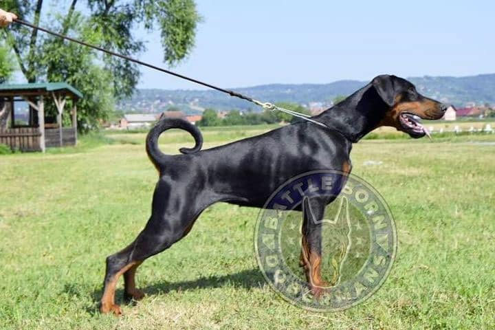 Pandora - Battle Born Dobermans
