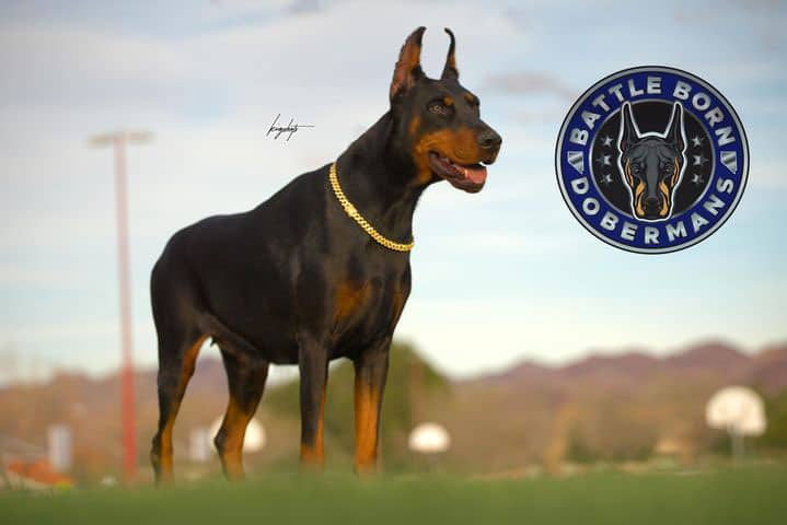 Anakonda of Battle Bornd Dobermans