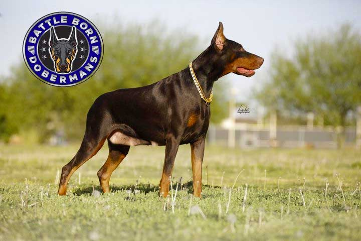 Zahra - Femalte Doberman at Battle Born Dobermans